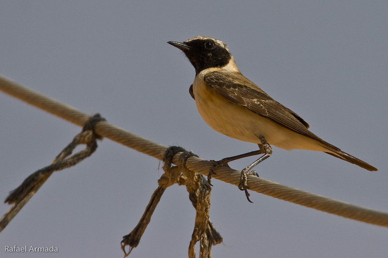 Black-eared Wheatear (Oenanthe hispanica melanoleuca), Male. Yotvata (Israel), April 2006.<br /> Esp: Collalba rubia<br /> Cat: Còlit ros