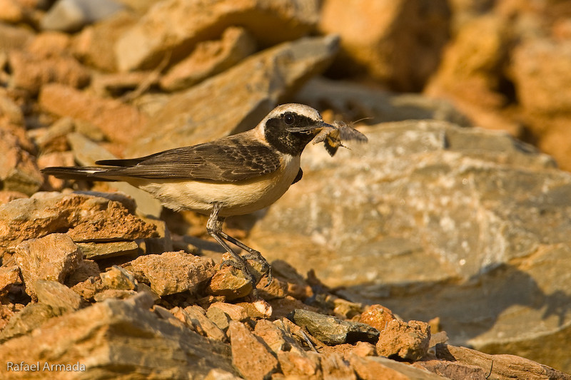 Black-eared Wheatear (Oenanthe hispanica melanoleuca), Male. Antalya (Turkey), May 2008.<br /> Esp: Collalba rubia<br /> Cat: Còlit ros