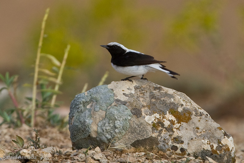 Finsch's Wheatear (Oenanthe finschii), Male. Birecik (Turkey), May 2008.
