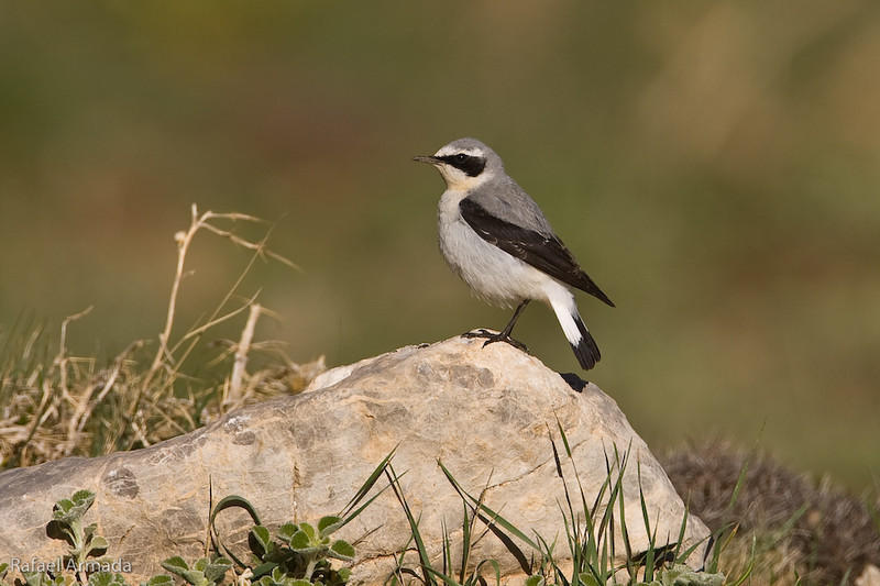 Northern Wheatear (Oenanthe oenanthe libanotica), Male. Demirkazik (Turkey), May 2008.<br /> Esp: Collalba gris<br /> Cat: Còlit gris
