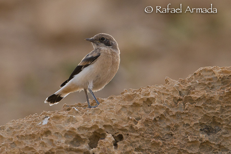 Mourning Wheatear (Oenanthe lugens), juvenile.
