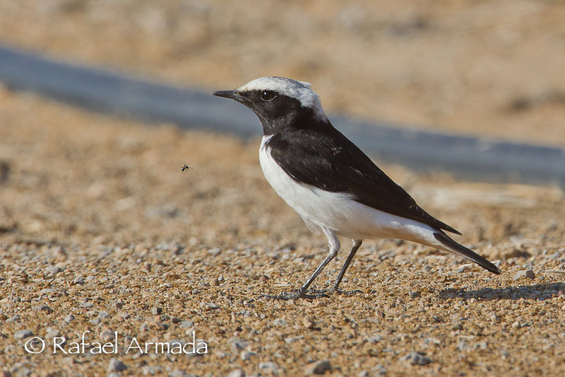 Mourning Wheatear (Oenanthe lugens).