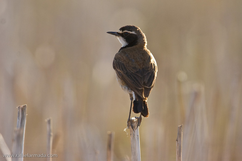 Capped Wheatear (Oenanthe pileata). Bredasdorp Natural Reserve (South Africa), November 2005