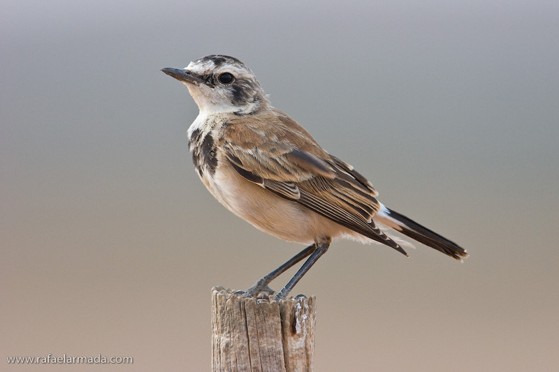 Capped Wheatear (Oenanthe pileata). Ratelfontein (South Africa), November 2005.