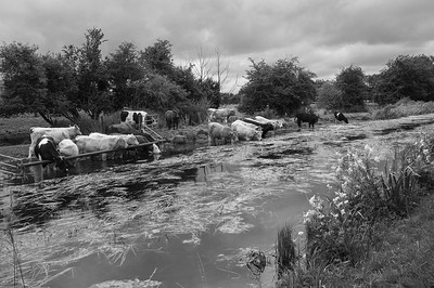 Cows on the Canal (Micheal McCormack)