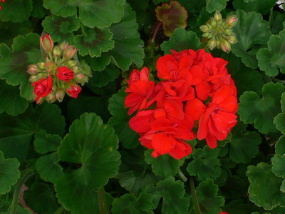 Red Geranium - Norma Lynch
