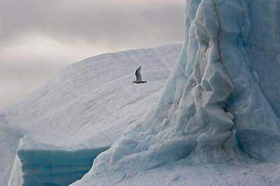 Black-headed gull over glacier, Nunavut, Canada