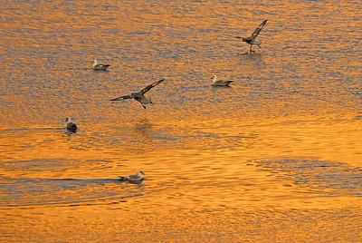 Gulls off Baffin Island, Nunavut, Canada