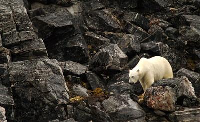 A polar bear on Devon Island, Canada