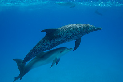The Wild Dolphin Project is a long term non-invasive study of a specific pod of Atlantic spotted dolphins.