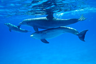 One goal of the Wild Dolphin Project is to study and decode the clicks, whistles, and other vocalizations that dolphins use for communication.