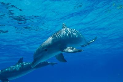Dolphins near the Bahamas