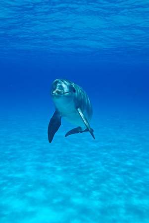 A dolphin observed by the Wild Dolphin Project near the Bahamas