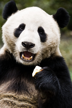 A panda at the Wolong Panda Reserve in Chengdu, China