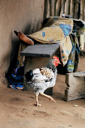 A rooster in Cape Coast, Ghana