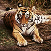 Bengal tigers are native to India, and constitute about half of the world's wild tiger population.
