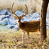A male deer in Ranthambhore National Park