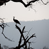 The Silhouette of a Peacok and tree branches in the national park of Ranthambhore