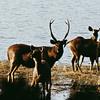 Deer by a lake in Ranthambhore National Park