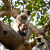 A Langur Monkey with its baby sitting on a branch in Ranthambhore National Park