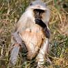 Lagur monkey in Ranthambhore National Park, India