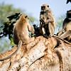 Three Langur monkeys on a tree in Ranthambhore National Park