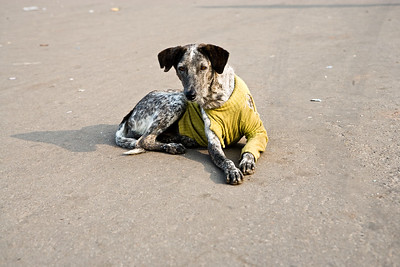 A street dog wearing a yellow sweater in Delhi, India