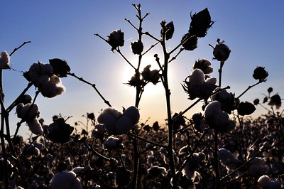 Cotton is a soft, fluffy staple fiber that grows in a boll, or protective capsule.