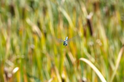 Sun Valley, Dragon Fly at Eeedaho Pond