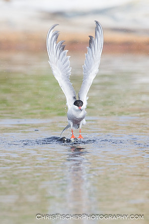 Common Tern Taking Flight