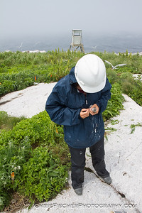 Checking the Band on a Tern Chick
