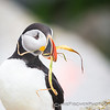Atlantic Puffin with Nesting Material