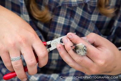 Banding Tern Chick