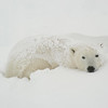 Polar Bear (Ursus maritimus) takes refuge in the snow while waiting for the ice to freeze on the shores of Hudson Bay at Cape Churchill, near Churchill, Manitoba, Canada.