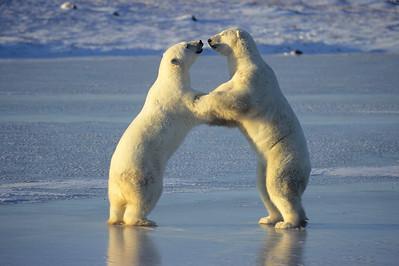 Polar Bear (Ursus maritimus) playing on frozen ice in Churchill, Manitoba, Canada.