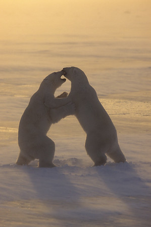 Polar Bear (Ursus maritimus) playing on frozen ice in Churchill, Manitoba, Canada during the evening.