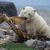 Polar Bear (Ursus maritimus) feeding on a Beluga Whale carcass. Canada