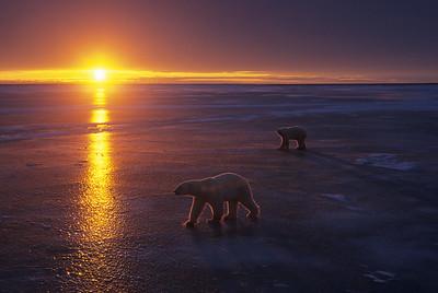 Polar Bear walking on frozen Churchill, Manitoba, Canada during sunset.