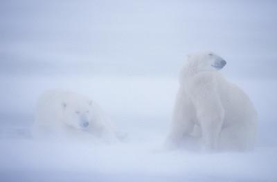 Polar Bears (Ursus maritimus) endure blowing snow on frozen Hudson Bay. Canada