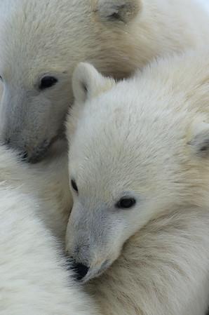 Polar Bear (Ursus maritimus) cub cuddling with mom. Hudson Bay, Manitoba, Canada
