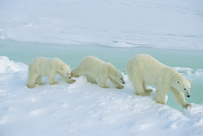 Polar Bear mother with cubs at the shores of Hudson Bay waiting for the ice to freeze. Canada