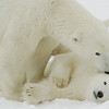 Polar Bear mother grooms her cub at Cape Churchill, Manitoba, Canada.