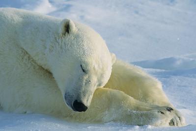A polar bear adult resting. Hudson Bay, Canada