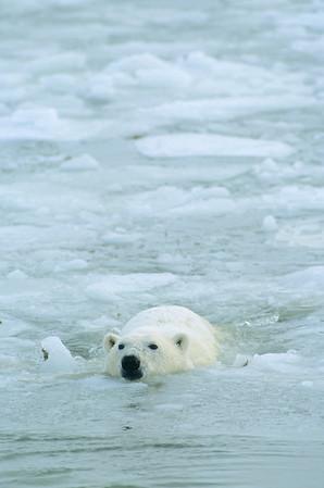 An adult polar bear swimming in Hudson Bay, Canada.