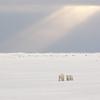 Polar bears under a shaft of light. Cape Churchill, Churchill, Manitoba, Canada