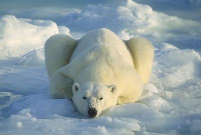 A portrait of an adult polar bear resting. Hudson Bay, Canada