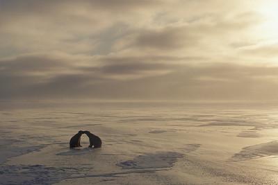 Polar Bears playing on frozen Husdon Bay during sunset. Churchill, Manitoba. Canada