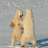 Polar Bears (Ursus maritimus) wrestle during a play fighting session along the shores of Hudson Bay, near Churchill, Manitoba, Canada.