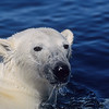 Polar Bear (Ursus Maritimus) swimming in Wager Bay, Northwest Territories in Canada.