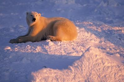 Polar Bear (Ursus maritimus) on the frozen ice of Churchill, Manitoba, Canada.